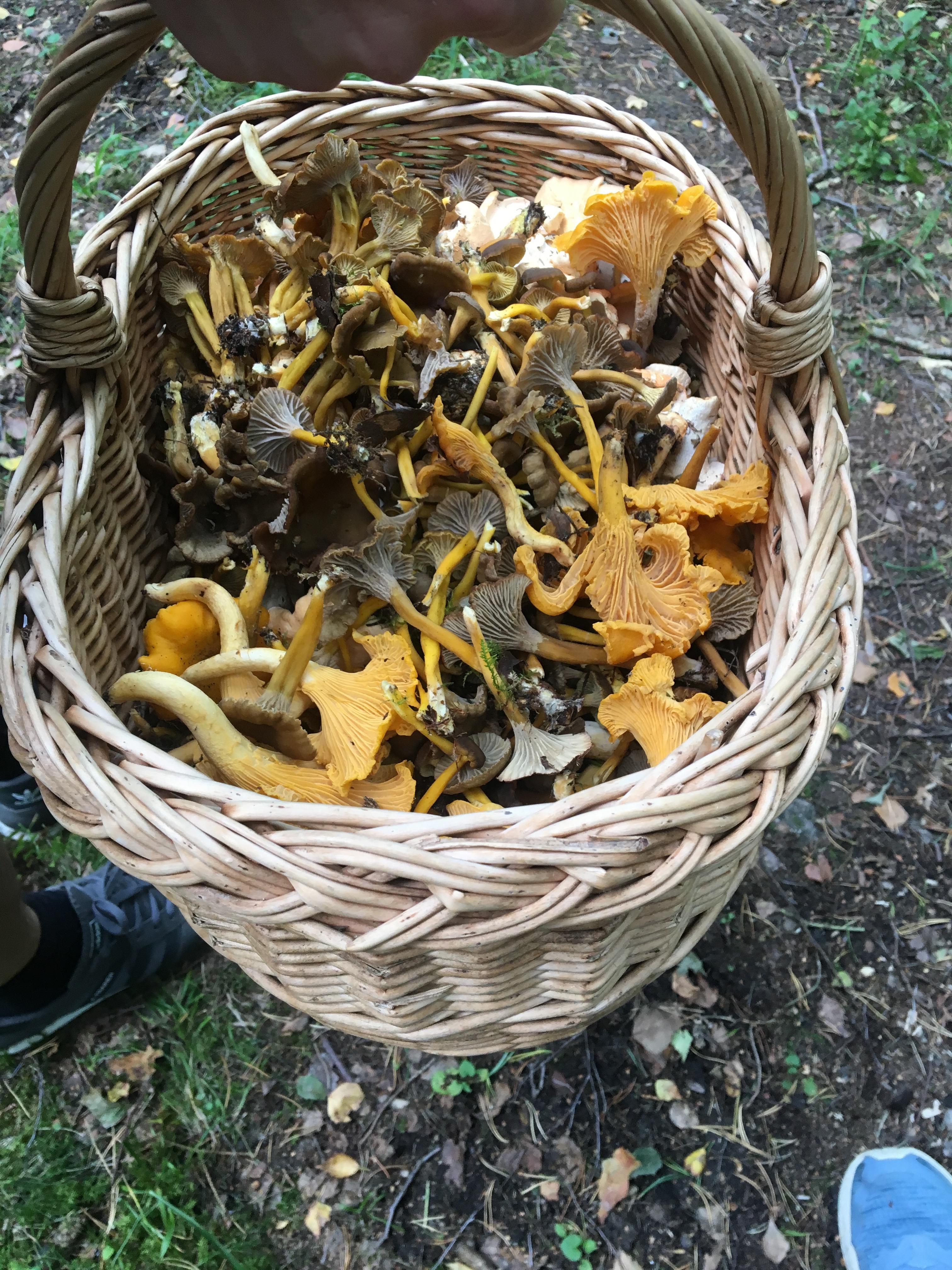 mushrooms Lådna Stockholm archipelago